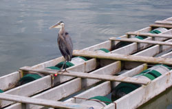 heron on dock